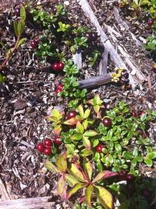 Vaccinium vitis-idaea L. in Newfoundland